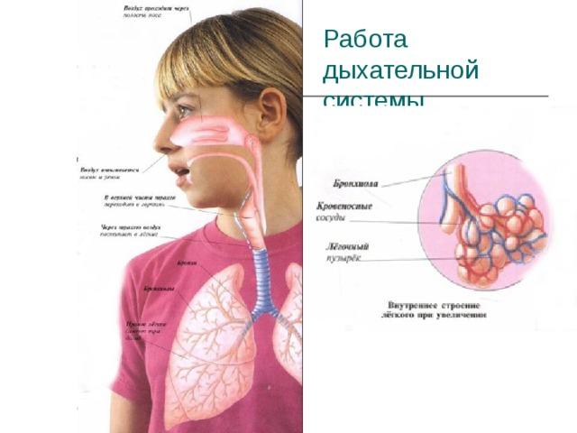 Работа дыхательной системы