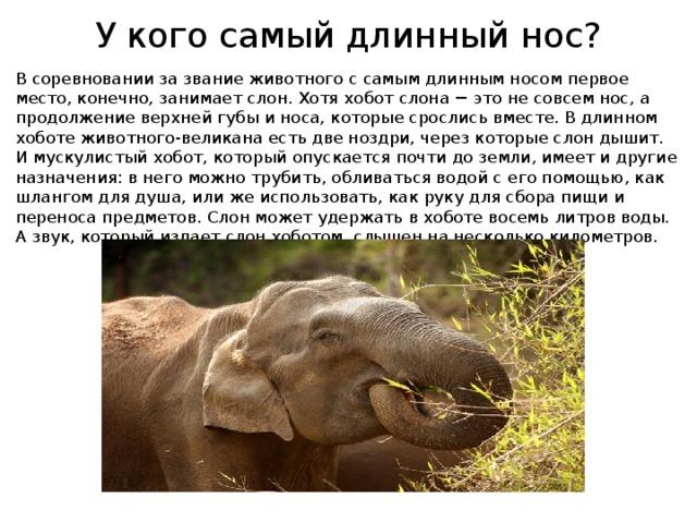 У кого самый длинный нос? В соревновании за звание животного с самым длинным носом первое место, конечно, занимает слон. Хотя хобот слона − это не совсем нос, а продолжение верхней губы и носа, которые срослись вместе. В длинном хоботе животного-великана есть две ноздри, через которые слон дышит. И мускулистый хобот, который опускается почти до земли, имеет и другие назначения: в него можно трубить, обливаться водой с его помощью, как шлангом для душа, или же использовать, как руку для сбора пищи и переноса предметов. Слон может удержать в хоботе восемь литров воды. А звук, который издает слон хоботом, слышен на несколько километров.
