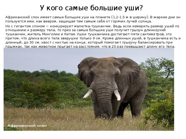 У кого самые большие уши? Африканский слон имеет самые большие уши на планете (1,2-1,5 м в ширину). В жаркие дни он пользуется ими, как веером, защищая тем самым себя от горячих лучей солнца. Но с гигантом слоном − конкурирует малютка-тушканчик. Ведь если измерить размер ушей по отношению к размеру тела, то приз за самые большие уши получит грызун длинноухий тушканчик, житель Монголии и Китая. Ушки тушканчика достигают пяти сантиметров, это притом, что длина всего тела зверушки только 9 см. Кроме длинных ушей, в тушканчика есть и длинный, до 30 см, хвост с кистью на конце, который помогает грызуну балансировать при прыжках, так как животное прыгает на расстояния, что в 20 раз превышают длину его тела.