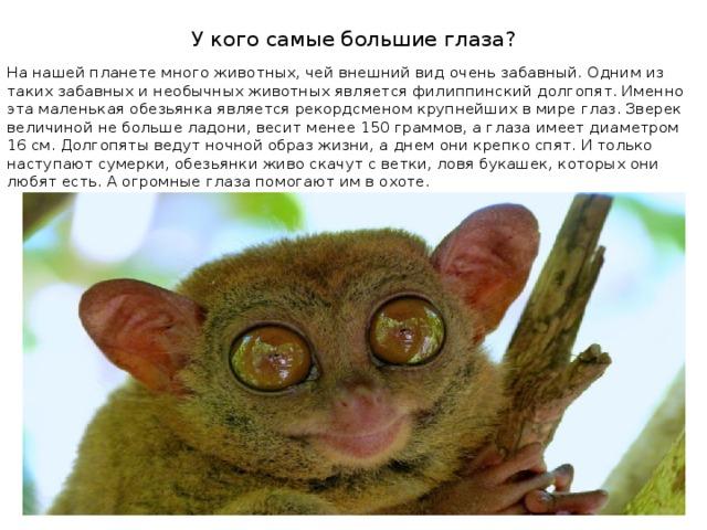У кого самые большие глаза? На нашей планете много животных, чей внешний вид очень забавный. Одним из таких забавных и необычных животных является филиппинский долгопят. Именно эта маленькая обезьянка является рекордсменом крупнейших в мире глаз. Зверек величиной не больше ладони, весит менее 150 граммов, а глаза имеет диаметром 16 см. Долгопяты ведут ночной образ жизни, а днем они крепко спят. И только наступают сумерки, обезьянки живо скачут с ветки, ловя букашек, которых они любят есть. А огромные глаза помогают им в охоте.