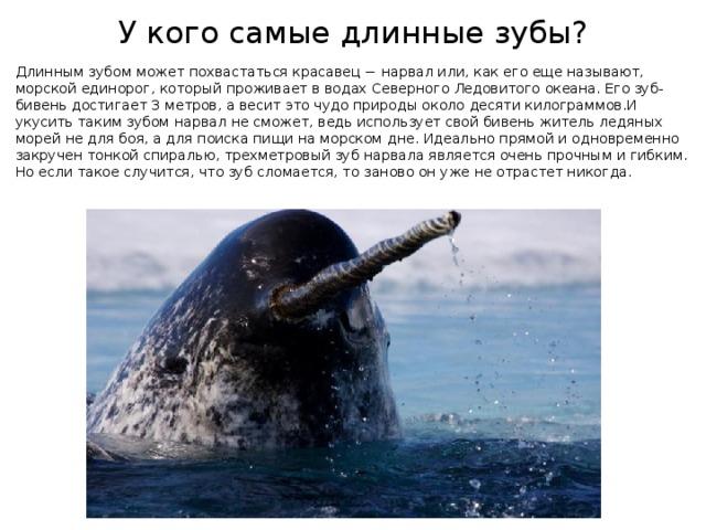У кого самые длинные зубы? Длинным зубом может похвастаться красавец − нарвал или, как его еще называют, морской единорог, который проживает в водах Северного Ледовитого океана. Его зуб-бивень достигает 3 метров, а весит это чудо природы около десяти килограммов.И укусить таким зубом нарвал не сможет, ведь использует свой бивень житель ледяных морей не для боя, а для поиска пищи на морском дне. Идеально прямой и одновременно закручен тонкой спиралью, трехметровый зуб нарвала является очень прочным и гибким. Но если такое случится, что зуб сломается, то заново он уже не отрастет никогда.