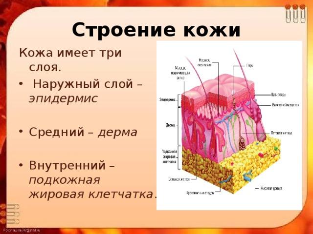 Строение кожи Кожа имеет три слоя.
