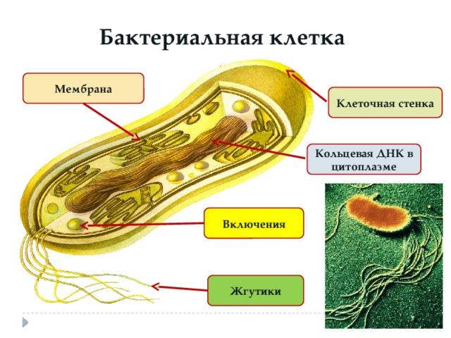 Бактериальная клетка Мембрана Клеточная стенка Кольцевая ДНК в цитоплазме Включения Жгутики