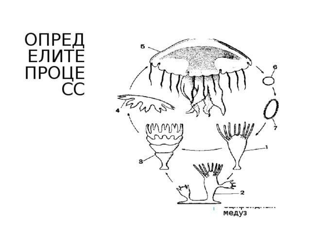 ОПРЕДЕЛИТЕ ПРОЦЕСС Чередование полового и бесполого поколения Сцифоидных медуз