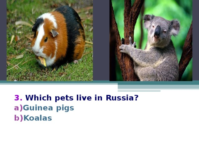 3.  Which pets live in Russia? Guinea pigs Koalas