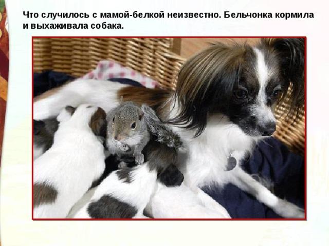 Что случилось с мамой-белкой неизвестно. Бельчонка кормила и выхаживала собака.