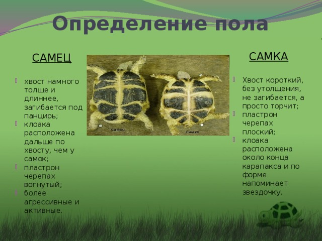 Определение пола САМКА Хвост короткий, без утолщения, не загибается, а просто торчит; пластрон черепах плоский; клоака расположена около конца карапакса и по форме напоминает звездочку. САМЕЦ