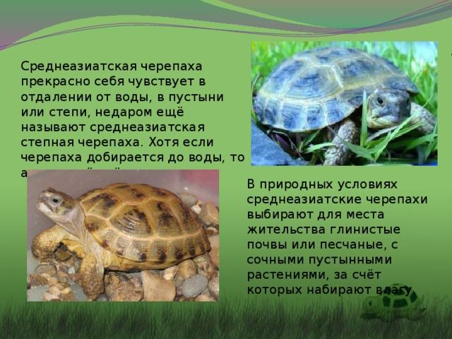 Среднеазиатская черепаха прекрасно себя чувствует в отдалении от воды, в пустыни или степи, недаром ещё называют среднеазиатская степная черепаха. Хотя если черепаха добирается до воды, то активно её пьёт. В природных условиях среднеазиатские черепахи выбирают для места жительства глинистые почвы или песчаные, с сочными пустынными растениями, за счёт которых набирают влагу.