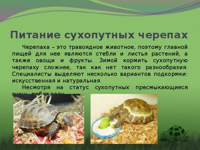 Питание сухопутных черепах Черепаха – это травоядное животное, поэтому главной пищей для нее являются стебли и листья растений, а также овощи и фрукты. Зимой кормить сухопутную черепаху сложнее, так как нет такого разнообразия. Специалисты выделяют несколько вариантов подкормки: искусственная и натуральная. Несмотря на статус сухопутных пресмыкающиеся очень любят воду.