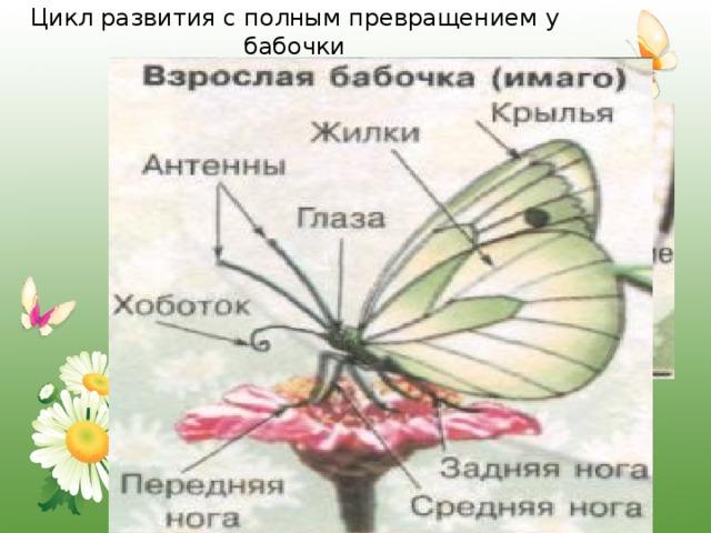 Цикл развития с полным превращением у бабочки