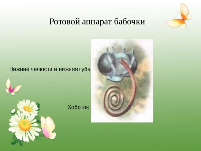 Ротовой аппарат бабочки Нижние челюсти и нижняя губа Хоботок