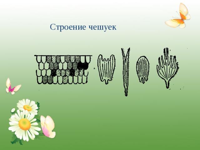 Строение чешуек