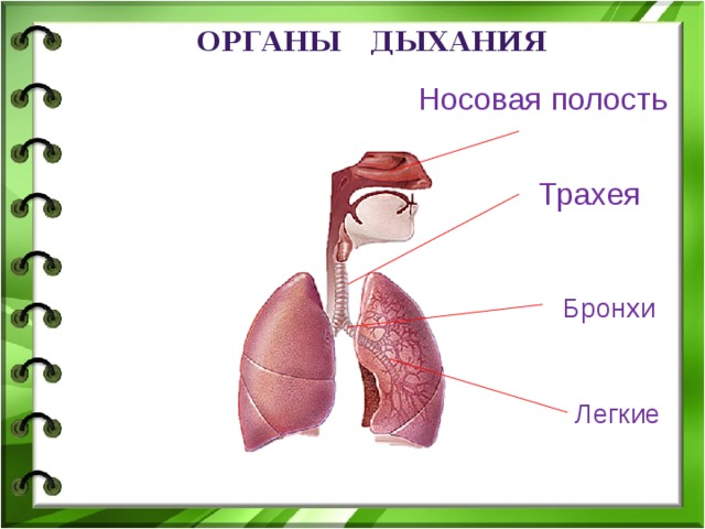 органы дыхания Носовая полость Трахея Бронхи Легкие