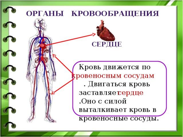 Органы кровообращения Сердце Кровь движется по  . Двигаться кровь заставляет .Оно с силой выталкивает кровь в кровеносные сосуды. кровеносным сосудам сердце