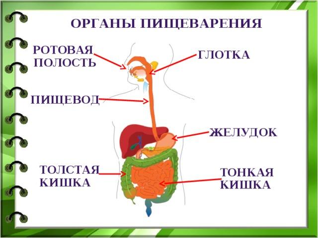 Органы пищеварения ротовая  полость глотка пищевод желудок толстая кишка тонкая кишка