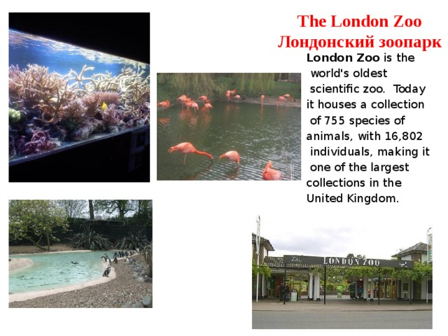 The London Zoo  Лондонский зоопарк London Zoo is the  world's oldest  scientific zoo. Today it houses a collection  of 755 species of animals, with 16,802  individuals, making it  one of the largest collections in the United Kingdom.