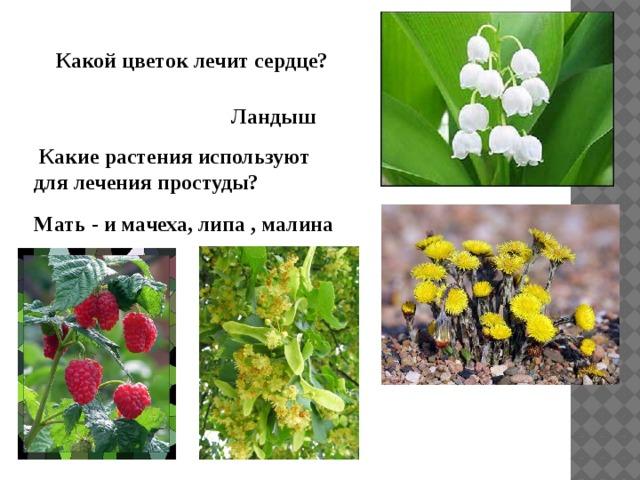 Какой цветок лечит сердце? Ландыш  Какие растения используют для лечения простуды? Мать - и мачеха, липа , малина