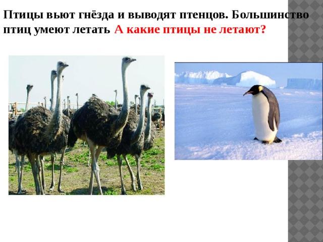 Птицы вьют гнёзда и выводят птенцов. Большинство птиц умеют летать . А какие птицы не летают?