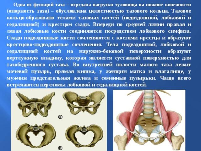 Одна из функций таза – передача нагрузки туловища на нижние конечности (опорность таза)– обусловлена целостностью тазового кольца. Тазовое кольцообразовано телами тазовых костей (подвздошной, лобковой и седалищной) и крестцом сзади. Впереди по средней линии правая и левая лобковые кости соединяются посредством лобкового симфиза. Сзади подвздошные кости сочленяются с костями крестца и образуют крестцово-подвздошные сочленения. Тела подвздошной, лобковой и седалищной костей на наружно-боковой поверхности образуют вертлужную впадину, которая является суставной поверхностью для тазобедренного сустава. Во внутренней полости малого таза лежит мочевой пузырь, прямая кишка, у женщин матка и влагалище, у мужчин предстательная железа и семенные пузырьки. Чаще всего встречаются переломы лобковой и седалищной костей.