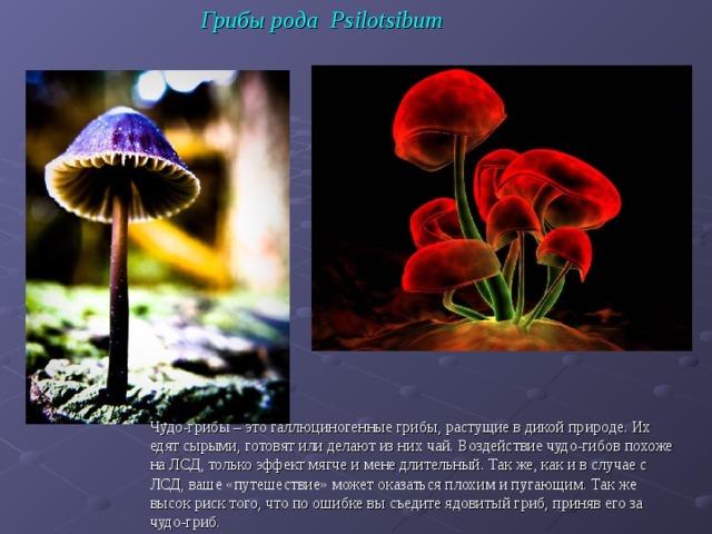 Грибы рода Psilotsibum Чудо-грибы – это галлюциногенные грибы, растущие в дикой природе. Их едят сырыми, готовят или делают из них чай. Воздействие чудо-гибов похоже на ЛСД, только эффект мягче и мене длительный. Так же, как и в случае с ЛСД, ваше «путешествие» может оказаться плохим и пугающим. Так же высок риск того, что по ошибке вы съедите ядовитый гриб, приняв его за чудо-гриб.