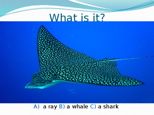 What is it? A) a ray B) a whale C) a shark