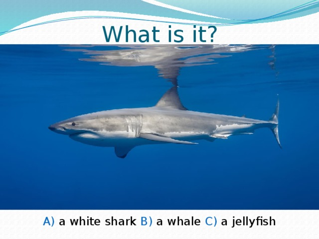 What is it? A) a white shark B) a whale C) a jellyfish