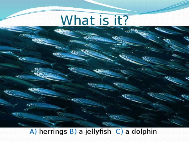 What is it? A) herrings B) a jellyfish C) a dolphin