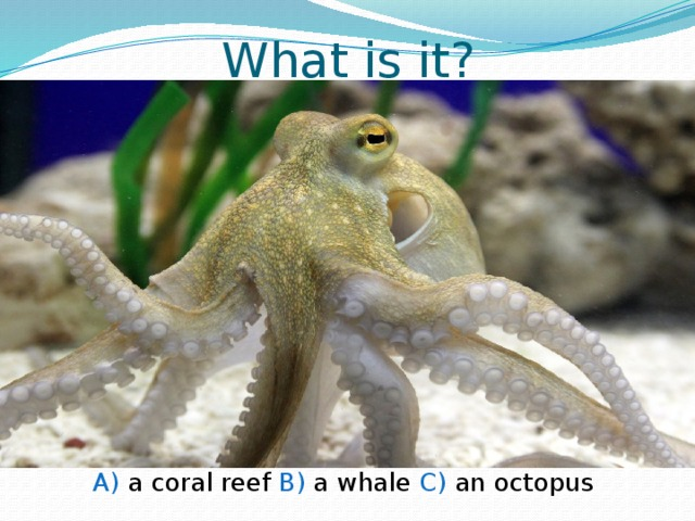 What is it? A) a coral reef B) a whale C) an octopus