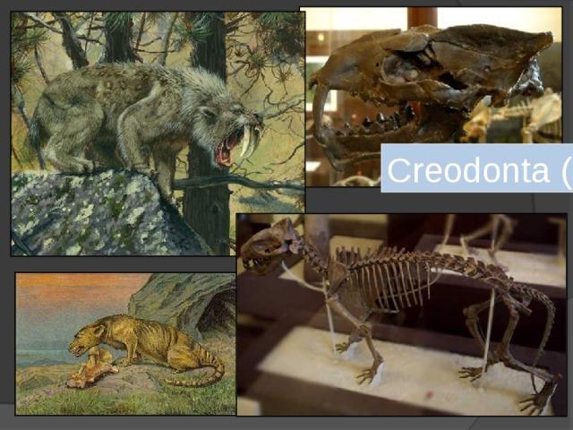 Creodonta ( креодонты )