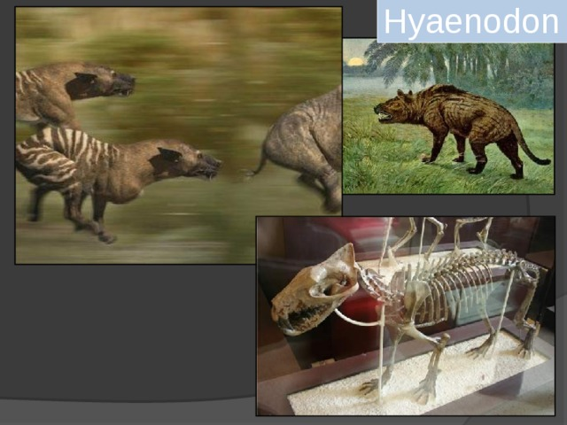 Hyaenodon ( Creodonta ).