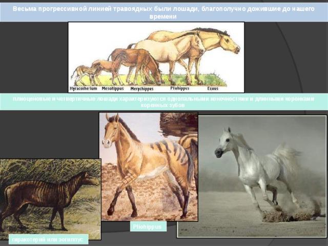 Весьма прогрессивной линией травоядных были лошади, благополучно дожившие до нашего времени плиоценовые и четвертичные лошади характеризуются однопальными конечностями и длинными коронками коренных зубов Pliohippus гиракотерий или эогиппус