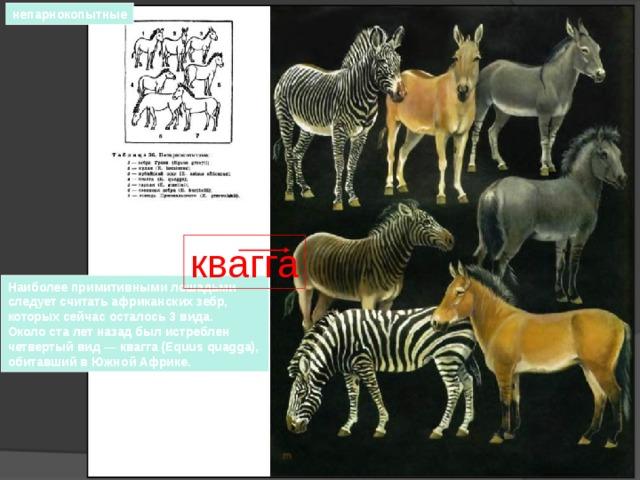 непарнокопытные квагга Наиболее примитивными лошадьми следует считать африканских зебр, которых сейчас осталось 3 вида. Около ста лет назад был истреблен четвертый вид — квагга (Equus quagga), обитавший в Южной Африке.