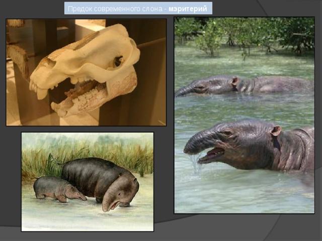 Предок современного слона - мэритерий