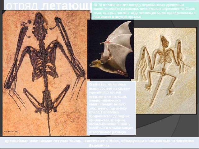 отряд летающих  млекопитающих  60-70 миллионов лет назад у первобытных древесных млекопитающих развились летательные перепонки по бокам тела, которые затем в ходе эволюции были преобразованы в настоящие машущие крылья Скелет крыла летучей мыши состоит из сильно удлиненных костей предплечья и пальцев, поддерживающих и натягивающих тонкую эластичную перепонку крыла. Перепонка продолжается до задних конечностей, которые несколько меньше, чем у наземных млекопитающих аналогичного размера древнейшая ископаемая летучая мышь, Icaronycteris index, обнаружена в эоценовых отложениях Вайоминга