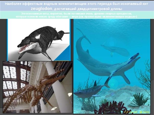 Наиболее эффектным водным млекопитающим этого периода был ископаемый кит zeuglodon , достигавший двадцатиметровой длины Эти ископаемые киты, вероятно, были потомками очень древних хищных креодонтов, которые освоили новую среду обитания — море (см. презентацию «млекопитающие водные»)