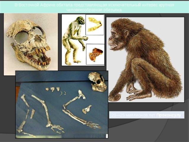 В Восточной Африке обитала представляющая исключительный интерес крупная человекообразная обезьяна 20—25 миллионов лет Проконсулу