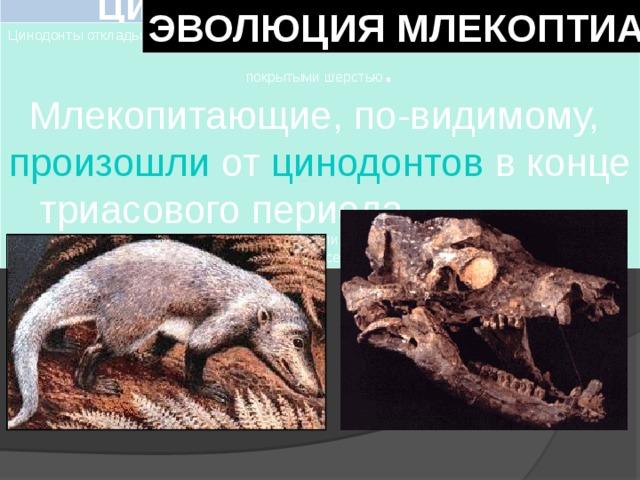 Цинодо́нты  ( лат.  Cynodontia — «собачьи зубы») вымершая группа зверозубых ящеров ( териодонтов ), относящихся к отряду звероподобных рептилий — терапсид  ЭВОЛЮЦИЯ МЛЕКОПТИАЮЩИХ Цинодонты откладывали яйца , подобно рептилиям. Скорее всего, они были теплокровными и покрытыми шерстью . Млекопитающие, по-видимому, произошли от цинодонтов в конце триасового периода и больше всего напоминали современных однопроходных. Зубы были полностью дифференцированы (их дифференциация продолжалась в течение всего периода существования цинодонтов).