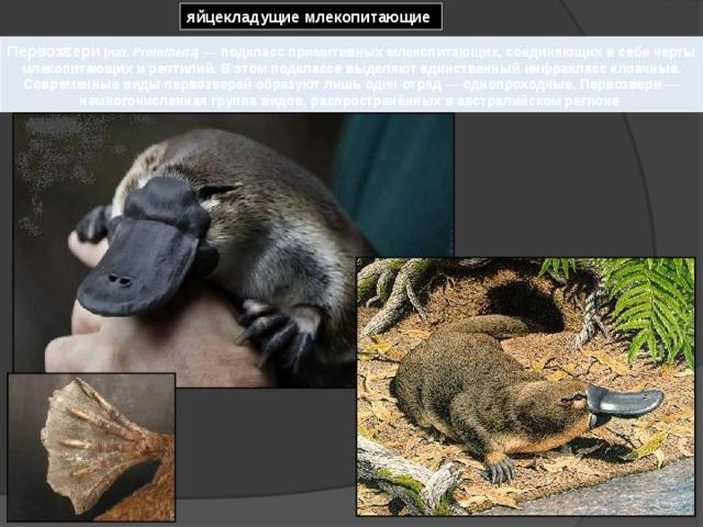 яйцекладущие млекопитающие Первозвери  (лат. Prototheria ) — подкласс примитивных млекопитающих, соединяющих в себе черты млекопитающих и рептилий. В этом подклассе выделяют единственный инфракласс клоачные. Современные виды первозверей образуют лишь один отряд— однопроходные. Первозвери— немногочисленная группа видов, распространённых в австралийском регионе