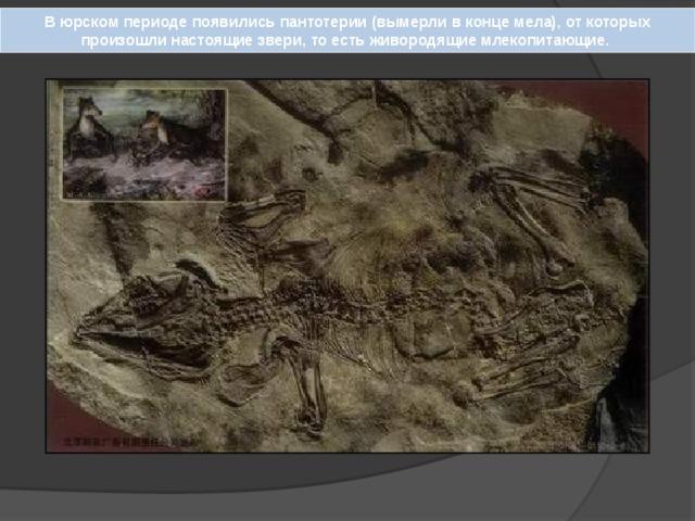 В юрском периоде появились пантотерии (вымерли в конце мела), от которых произошли настоящие звери, то есть живородящие млекопитающие.