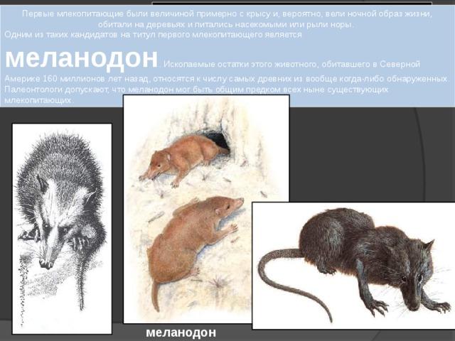 МЛЕКОПИТАЮЩИЕ Первые млекопитающие были величиной примерно с крысу и, вероятно, вели ночной образ жизни, обитали на деревьях и питались насекомыми или рыли норы. Одним из таких кандидатов на титул первого млекопитающего является меланодон . Ископаемые остатки этого животного, обитавшего в Северной Америке 160 миллионов лет назад, относятся к числу самых древних из вообще когда-либо обнаруженных. Палеонтологи допускают, что меланодон мог быть общим предком всех ныне существующих млекопитающих. меланодон