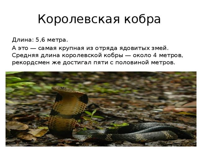 Королевская кобра Длина: 5,6 метра. А это — самая крупная из отряда ядовитых змей. Средняя длина королевской кобры — около 4 метров, рекордсмен же достигал пяти с половиной метров.
