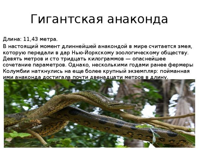 Гигантская анаконда Длина: 11,43 метра. В настоящий момент длиннейшей анакондой в мире считается змея, которую передали в дар Нью-Йоркскому зоологическому обществу. Девять метров и сто тридцать килограммов — опаснейшее сочетание параметров. Однако, несколькими годами ранее фермеры Колумбии наткнулись на еще более крупный экземпляр: пойманная ими анаконда достигала почти двенадцати метров в длину.