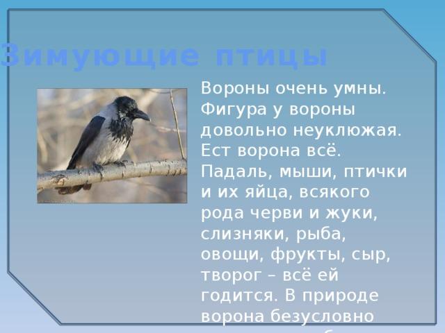 Зимующие птицы Вороны очень умны. Фигура у вороны довольно неуклюжая. Ест ворона всё. Падаль, мыши, птички и их яйца, всякого рода черви и жуки, слизняки, рыба, овощи, фрукты, сыр, творог – всё ей годится. В природе ворона безусловно полезна, но вблизи человеческого жилья становится воровкой.