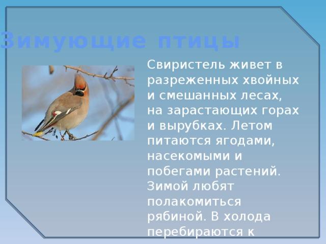 Зимующие птицы Свиристель живет в разреженных хвойных и смешанных лесах, на зарастающих горах и вырубках. Летом питаются ягодами, насекомыми и побегами растений. Зимой любят полакомиться рябиной. В холода перебираются к жилью человека.