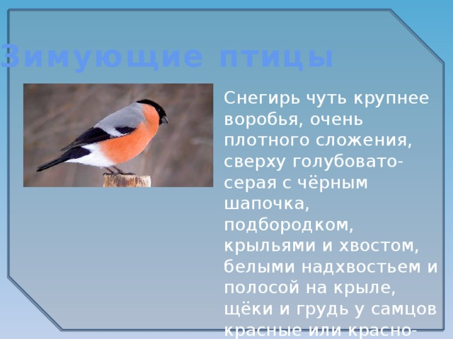 Зимующие птицы Снегирь чуть крупнее воробья, очень плотного сложения, сверху голубовато-серая с чёрным шапочка, подбородком, крыльями и хвостом, белыми надхвостьем и полосой на крыле, щёки и грудь у самцов красные или красно-розовые.