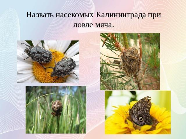 Назвать насекомых Калининграда при ловле мяча.