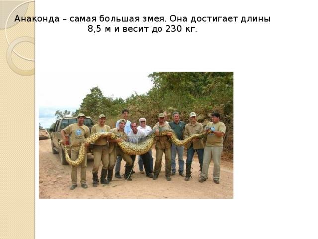 Анаконда – самая большая змея. Она достигает длины 8,5 м и весит до 230 кг.