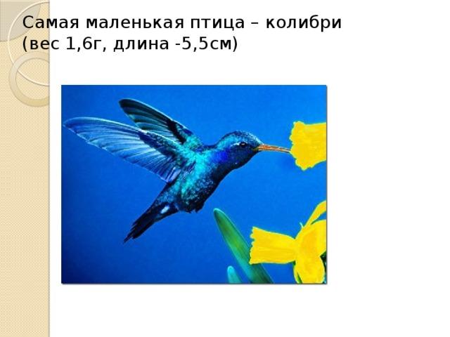 Самая маленькая птица – колибри (вес 1,6г, длина -5,5см)