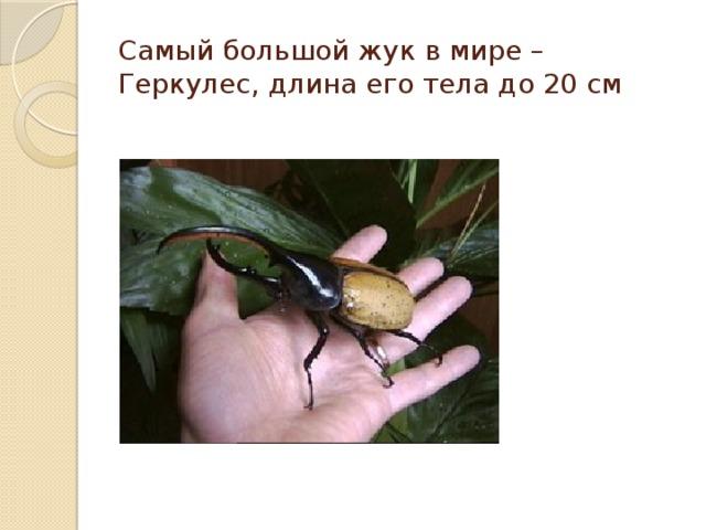 Самый большой жук в мире – Геркулес, длина его тела до 20 см