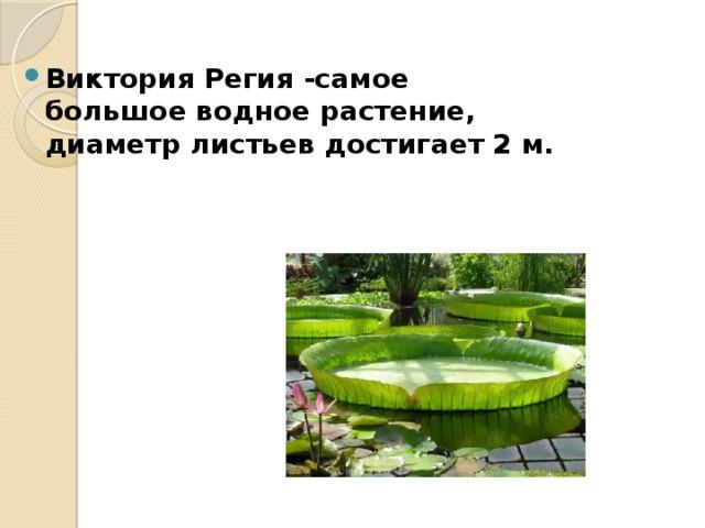Виктория Регия -самое большое водное растение, диаметр листьев достигает 2 м.